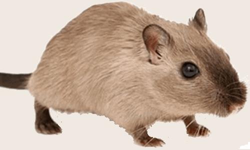 Eliminare gli scarafaggi - Topo