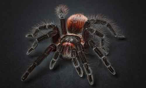 Eliminare i ragni - Tarantola